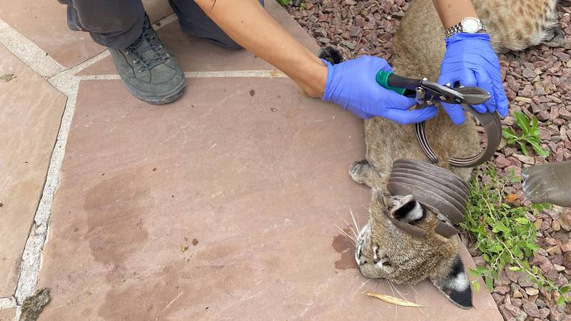 Bobcat found and freed