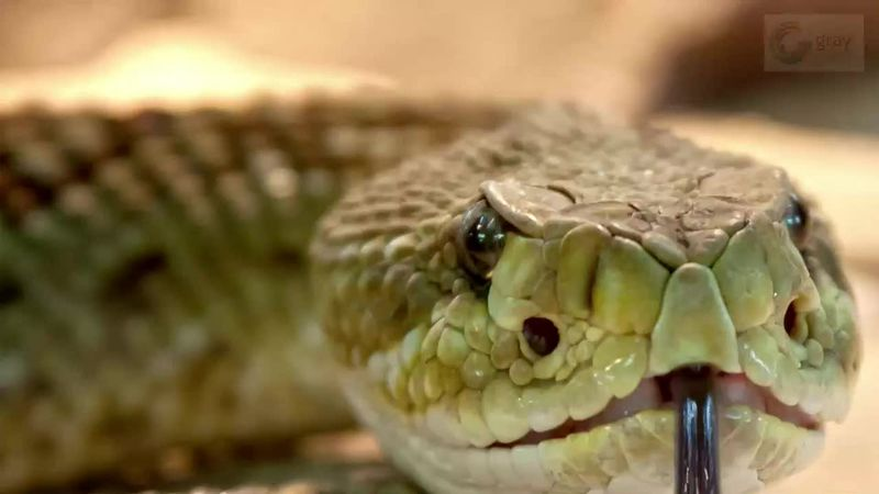 Rattlesnakes use their rattles at the end of their tail when threatened.