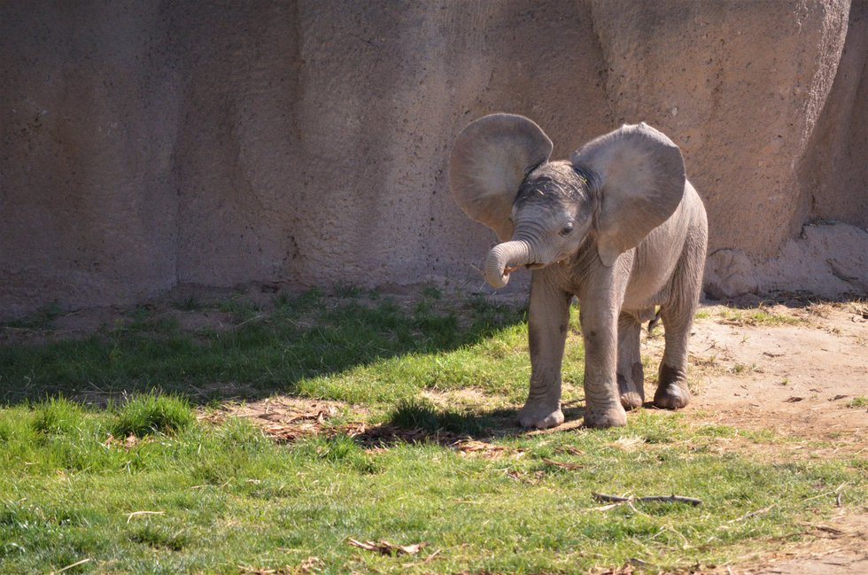 Infant elephant Mapenzi weighed in at 395 pounds, 100 pounds more than she weighed the day she...