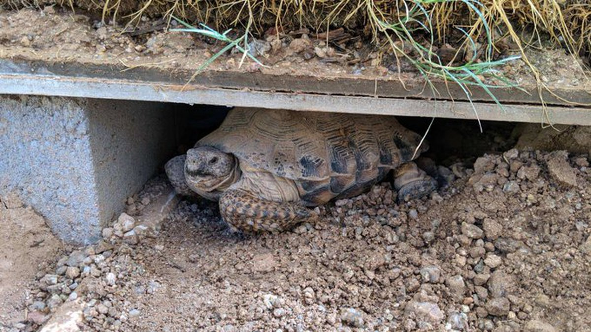 More than 50 tortoises are up for adoption.
