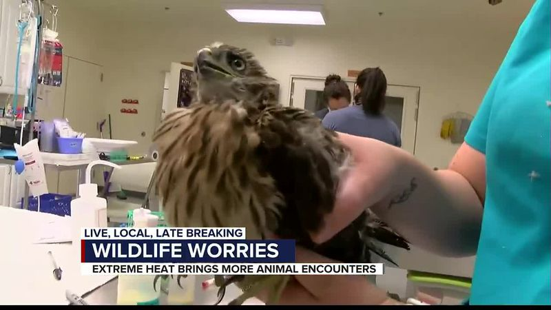 This Cooper's Hawk fledgling was brought into the Tucson Wildlife Center Friday. He was healthy...