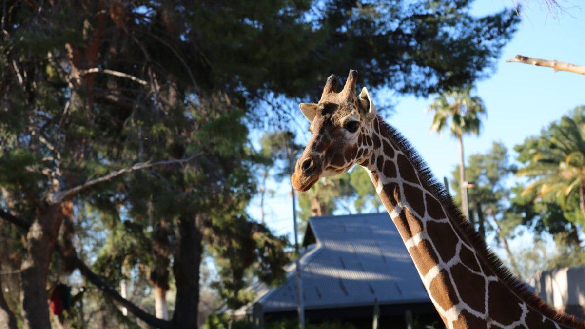 Reid Park Zoo said 32-year-old giraffe Denver was euthanized Thursday, Sept., 23, due to health...