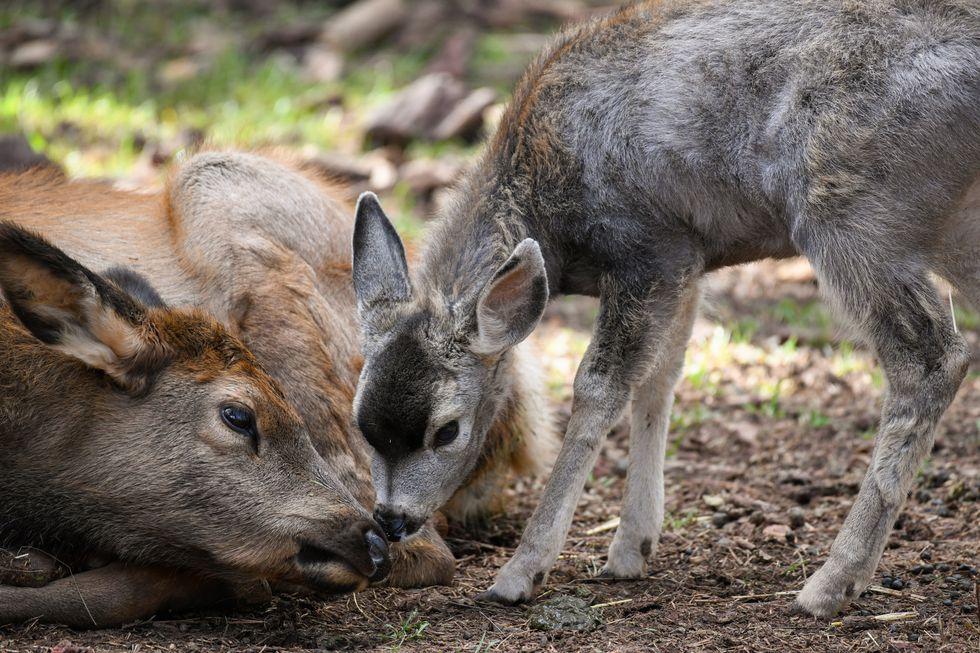 Lucky, the baby elk rescued after an accident in I-40 last year and Battington, a baby mule...