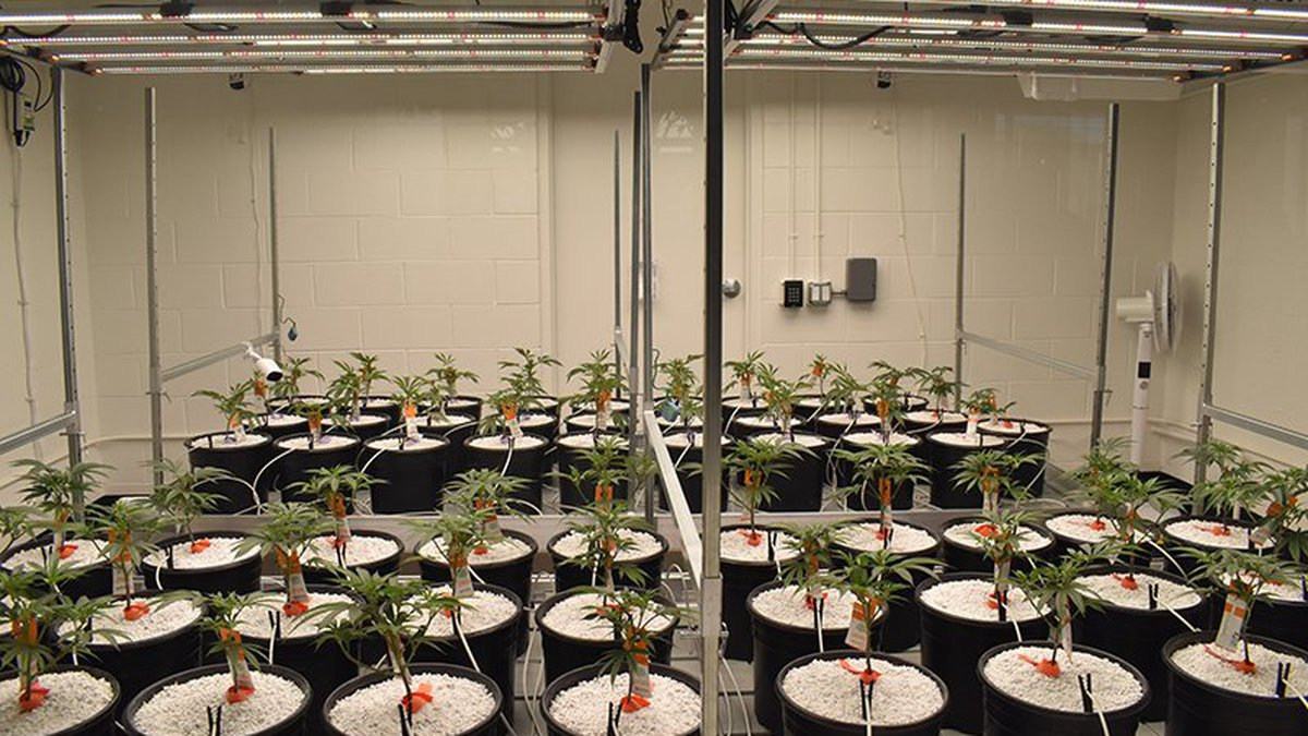 Cannabis plants in a grow room just inside SWC Arizona's Tempe dispensary, where they'll remain...