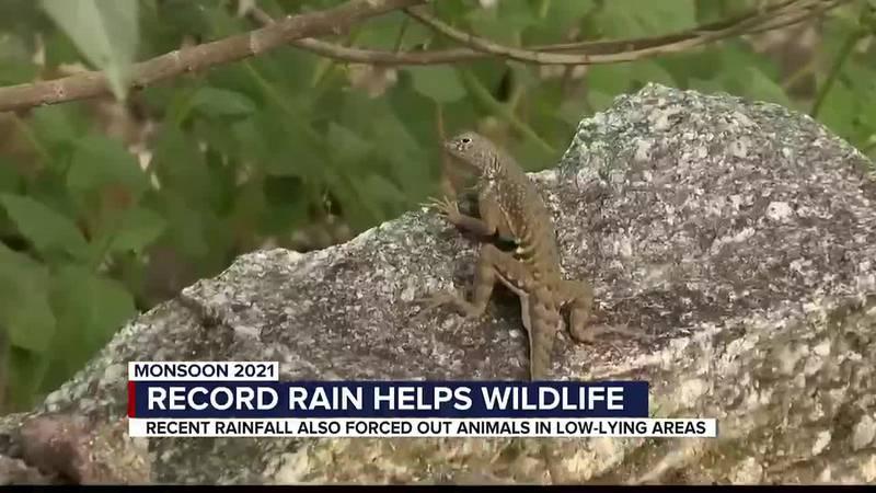 Record rain helps wildlife