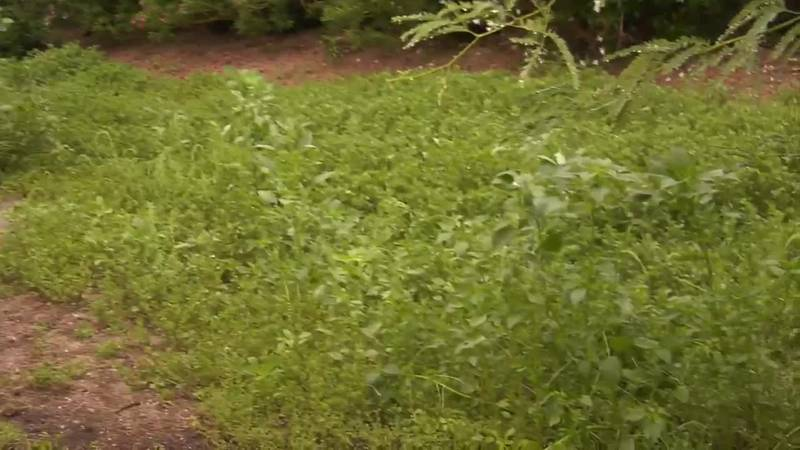 One landscaping company said the record-breaking rain has resulted in fast-growing weeds and...