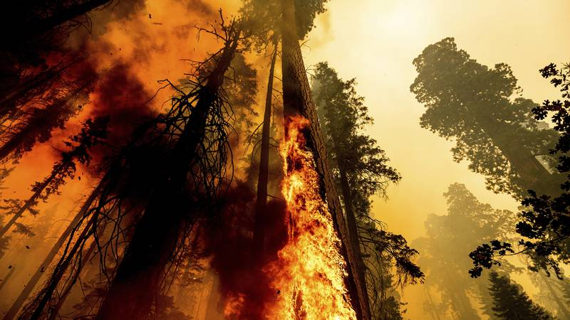 Flames lick up a tree as the Windy Fire burns in the Trail of 100 Giants grove in Sequoia...