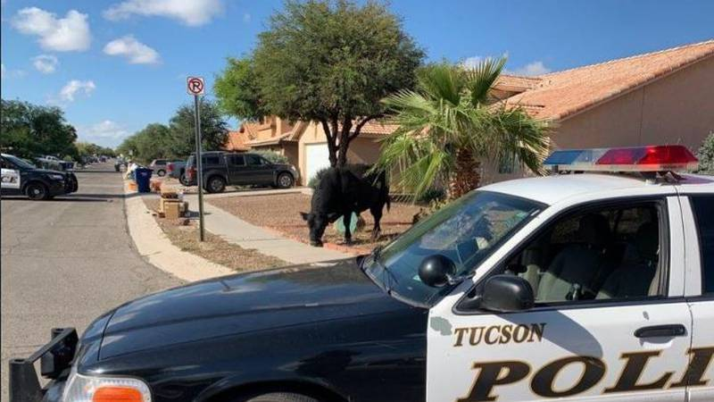 Police respond to a bull roaming the streets in Rita Ranch on Tuesday, Oct. 19.