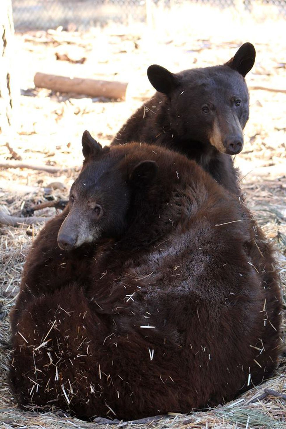 Black Bear Best Friends for Life! Scooby and Lemmon cuddle in the grass. (Source: Bearizona)