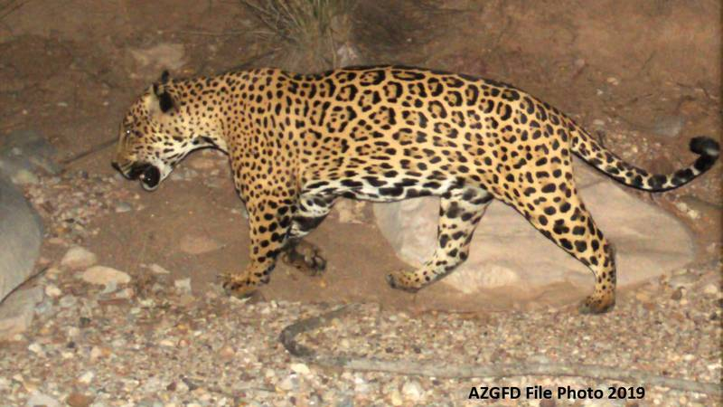 A new effort is underway to establish a jaguar population in Arizona and in New Mexico.