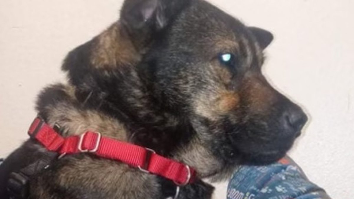 Mor'Du, the dog that escaped and made the nearly eight-mile trek to his kennel at Pima Animal...