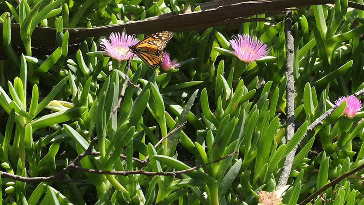 A monarch butterfly pollinates a flower at the Pismo Beach Butterly Grove in Pismo Beach,...