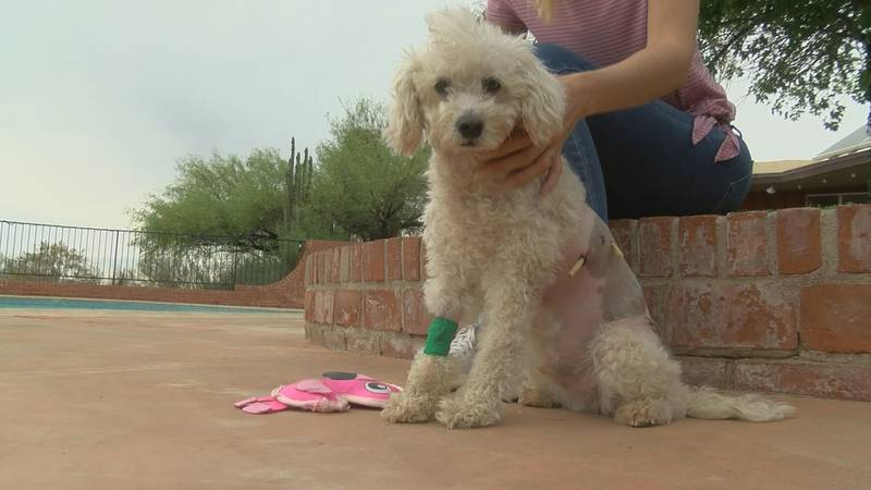 A Tucson dog is expected to make a full recovery after narrowly escaping a javelina attack.