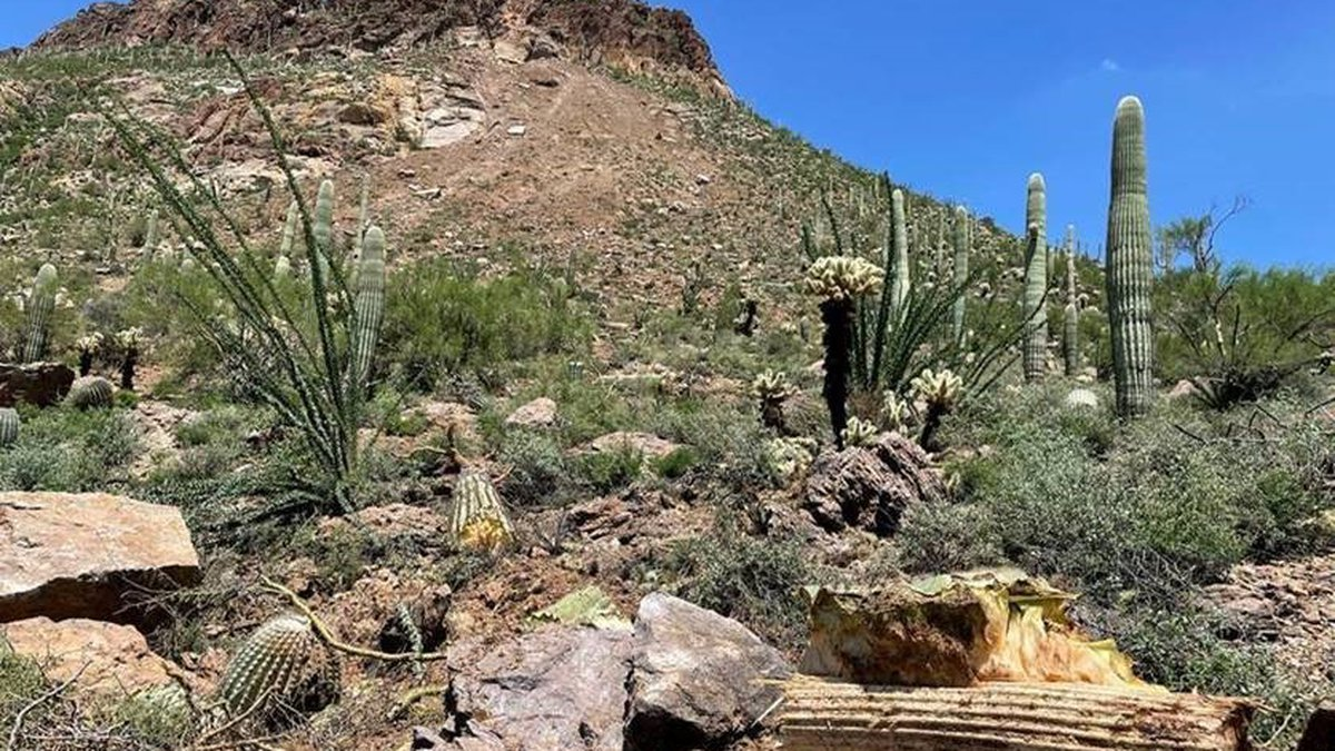A landslide knocked down or destroyed numerous saguaros in Tucson Mountain Park on Sunday, July...