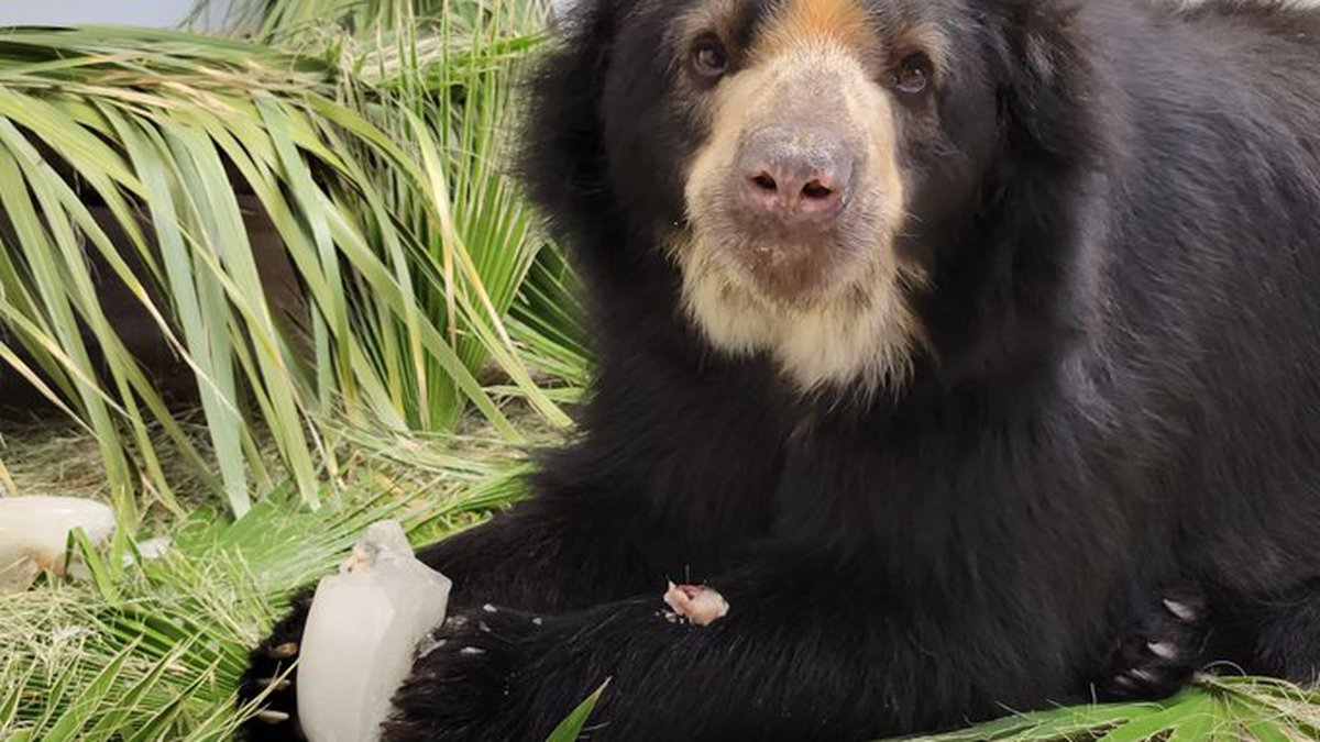 Joaquin is expected to move into the Andean bear habitat later this month.