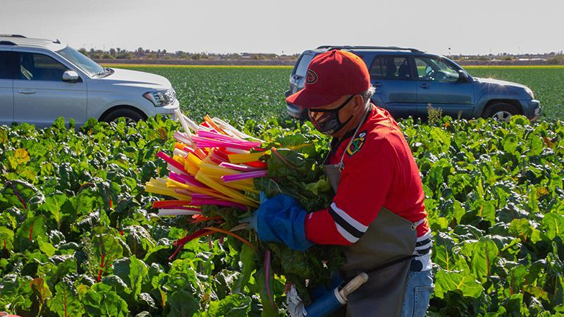 Field workers cut Swiss chard, bringing the produce to workers who sort good plants from bad....