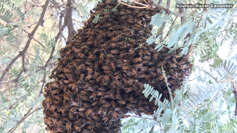 A Tucson woman is fighting for her life after she was stung by hundreds of Africanized bees.