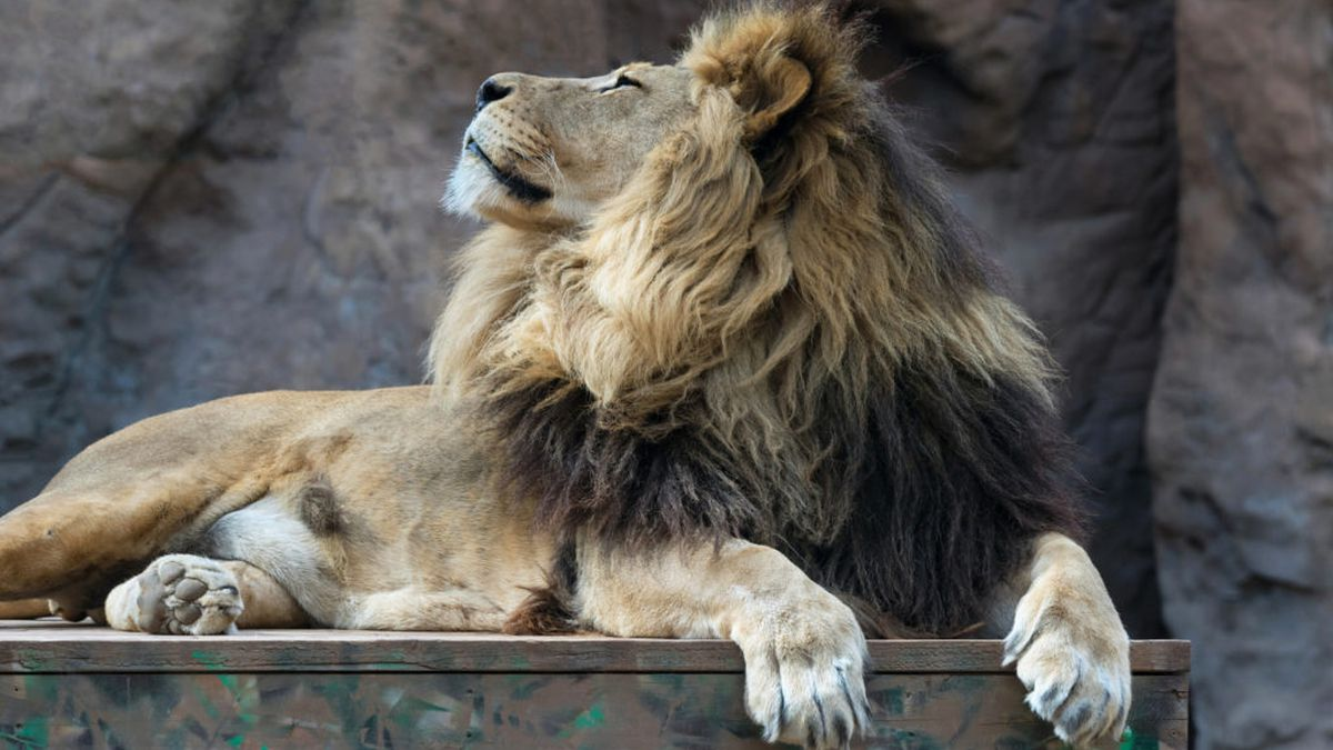 Shombay, above, relaxes in his enclosure at Reid Park Zoo. The 11-year-old lion was euthanized...