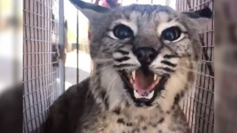 Bobcat captured after killing more than a dozen animals at the Tucson Petting Zoo & Funny Foot...