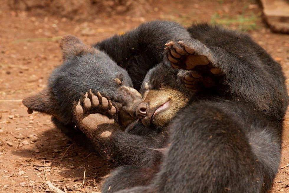 Pawsitively Precious: Black bear cubs Cubbie and Rizzo snuggle-play.  (Source: Bearizona)
