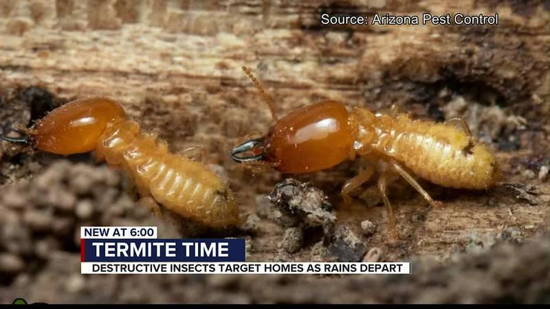 Historic monsoon brings active termite season