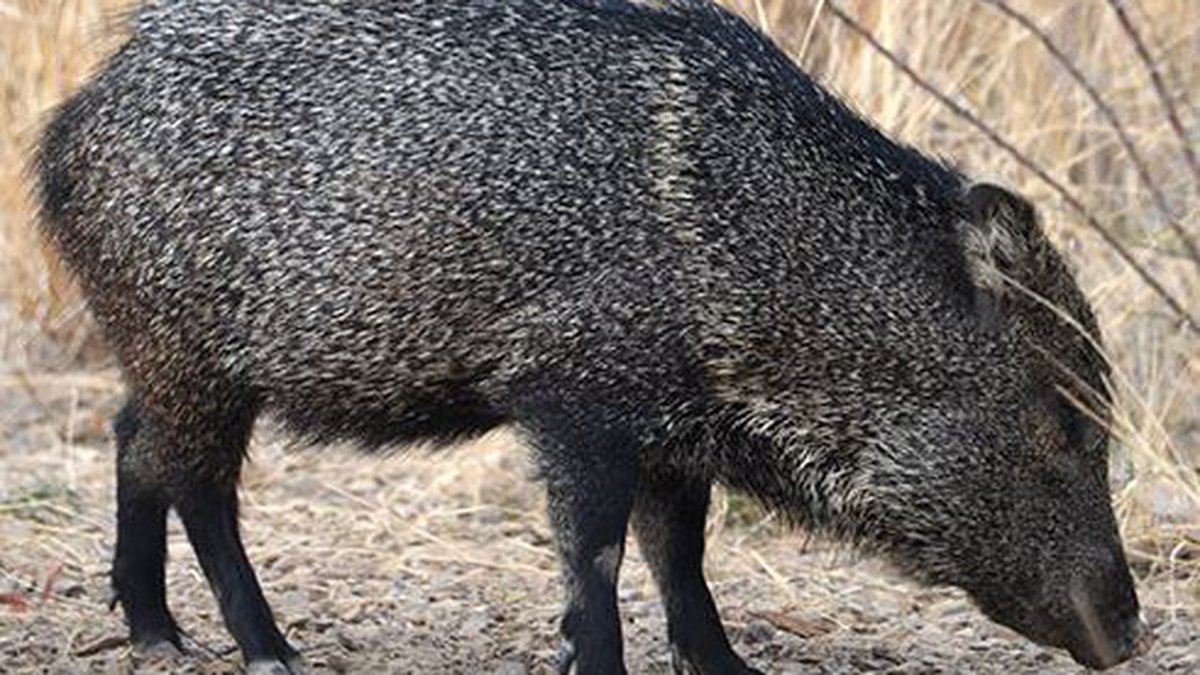 Authorities are investigating after a javelina was seriously wounded by an arrow this weekend.
