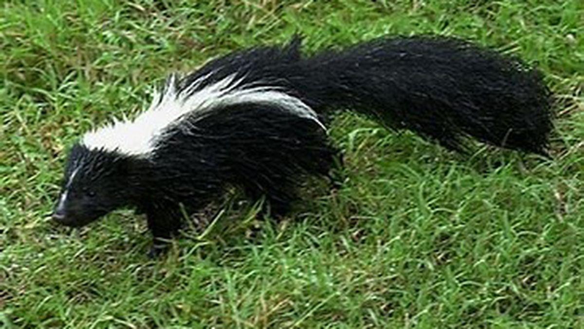 Cochise County warns of rabid skunks (Source: CCSO)