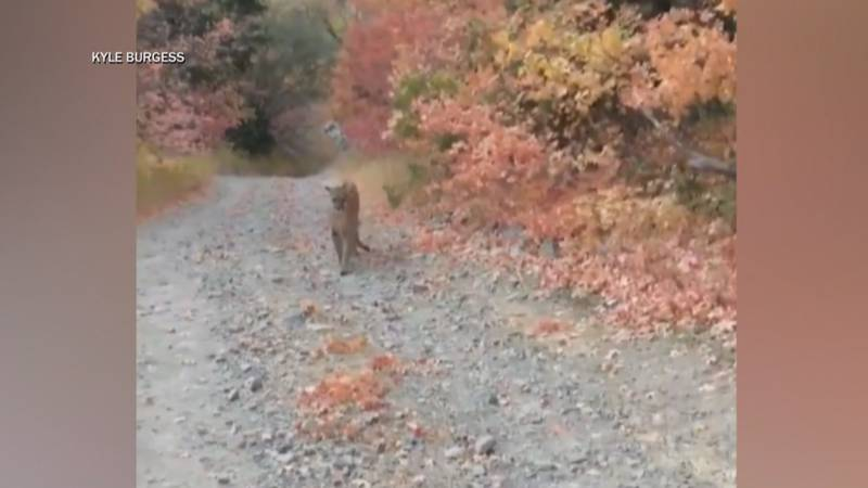 A man on a trail run in Utah ran right into a mountain lion and cubs over the weekend.