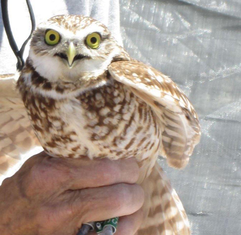 Western burrowing owl (Source: Pima County)