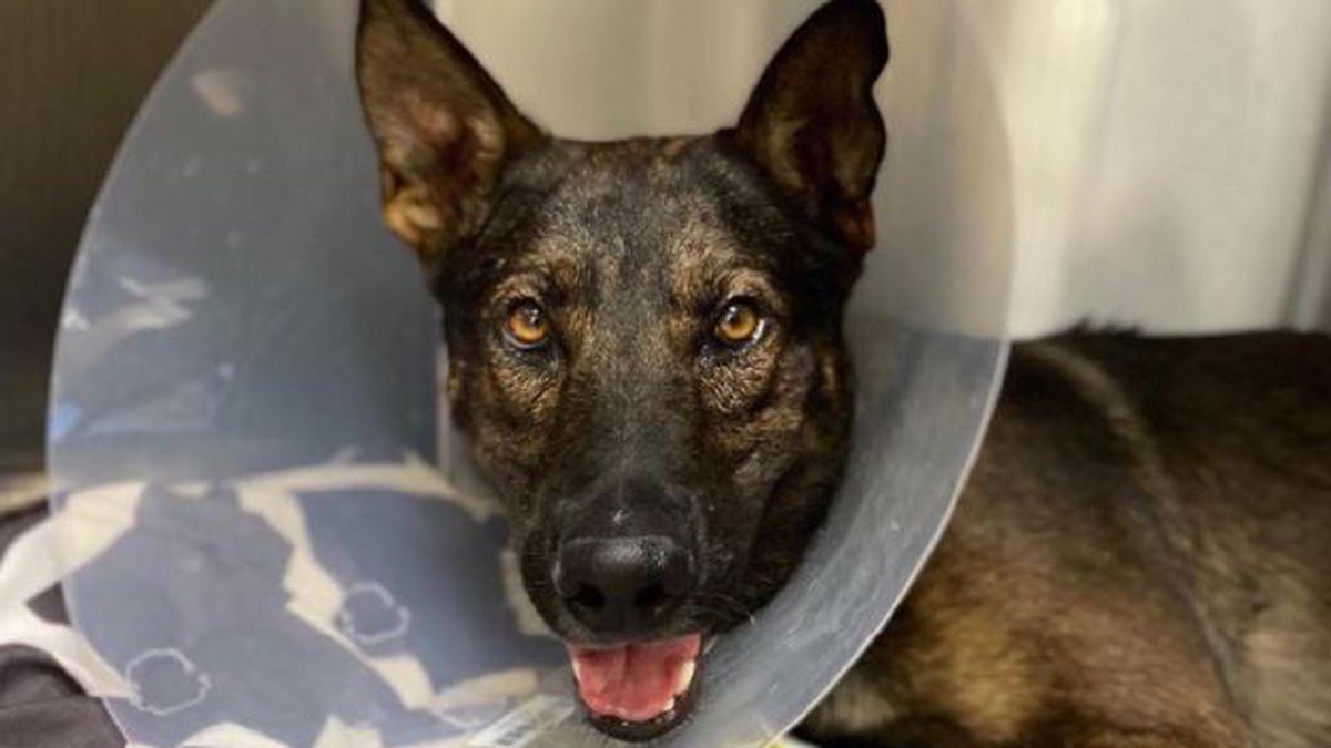 Tucson K-9 officer Tango was shot during the arrest of an armed robbery suspect late Thursday,...