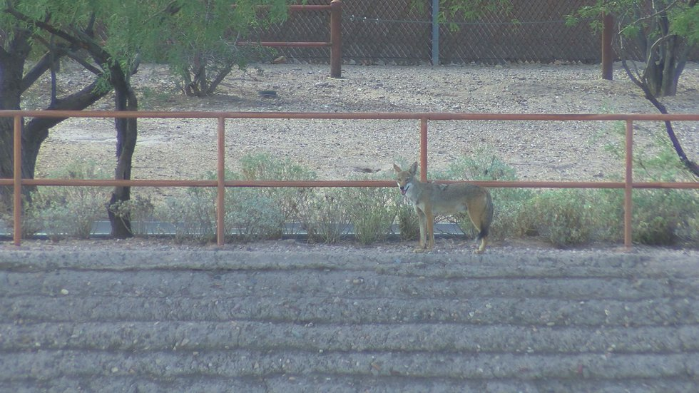 This coyote was checking out the other wildlife popping up around the one dry Santa Cruz River.