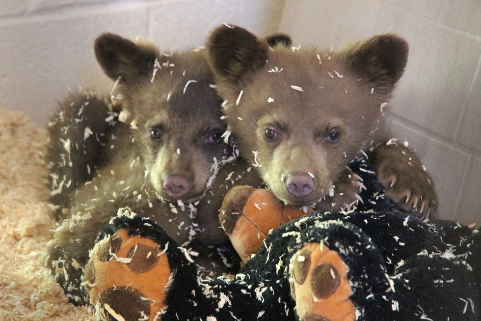 Two tiny black bear brothers, Bjorn and Ole, were rescued last year from Pinetop-Lakeside after...