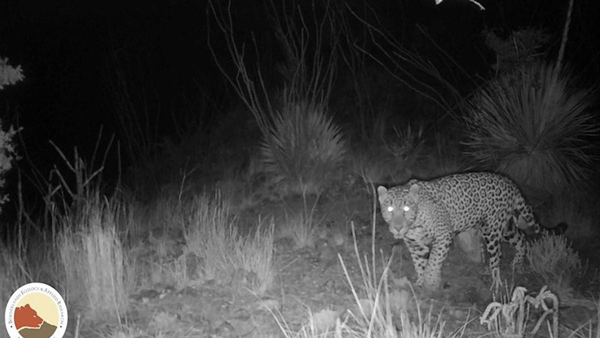 This young male jaguar - christened El Bonito - was spotted just south of the border between...