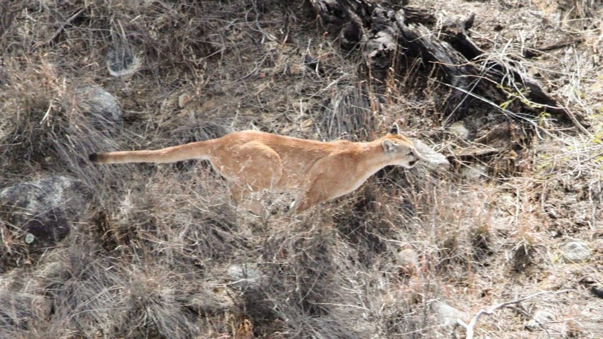 Arizona Game and Fish says it is illegal for any aircraft to pursue wildlife during an...