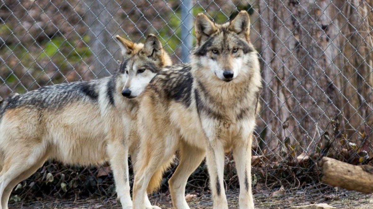 The Endangered Wolf Center in Eureka, Missouri, has served as the forefront of the Mexican wolf...