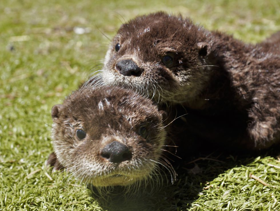 Two fuzzy otters, Dash and Flynn, cuddle in the sun. (Source: Bearizona)