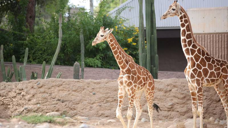 Penelope and Sota are the newest giraffe additions at Reid Park Zoo. For updates on when guests...