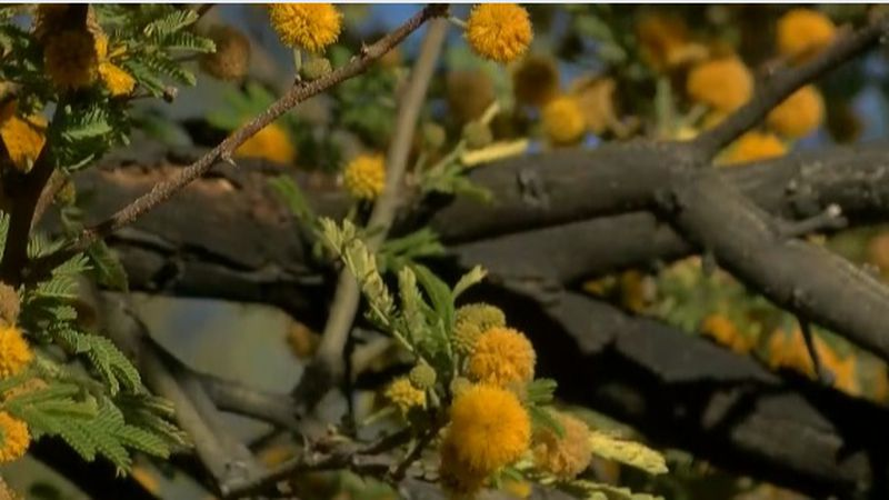 Mesquite may be the main cause of allergies among Tucsonans