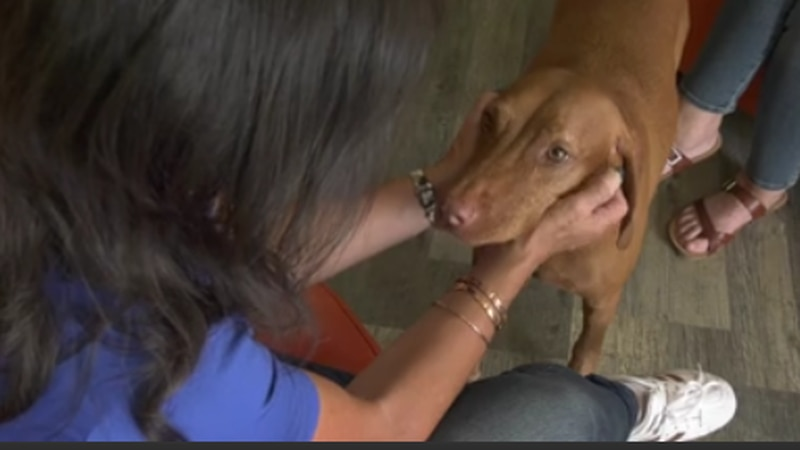 Canine Valley fever vaccine could be on the market in 2022.
