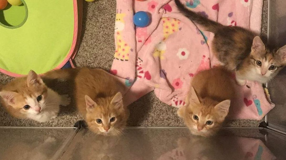 Kitten season is here, PACC in need of fosters (Source: Pima Animal Care Center)