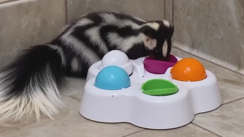 Diego the skunk is enjoying a puzzle feeder gifted to him from a donor. He is one of Arizona...