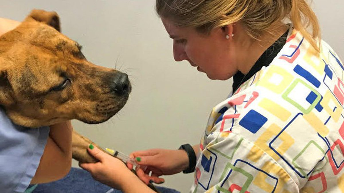 Hayley Yaglom, a TGen genomic epidemiologist and trained veterinarian, takes a blood sample...