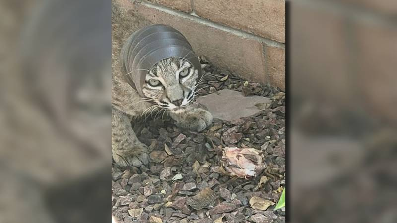 A bobcat with its head trapped in a flex pipe has been spotted in the Oro Valley area.