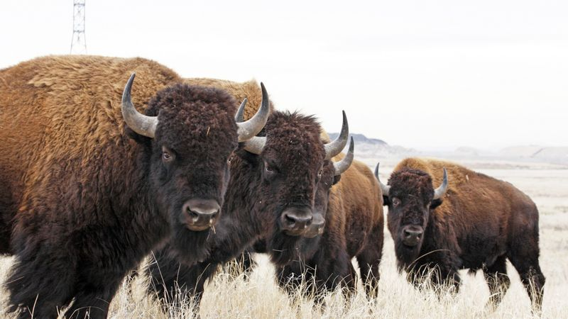 American bison are the country's national mammal.