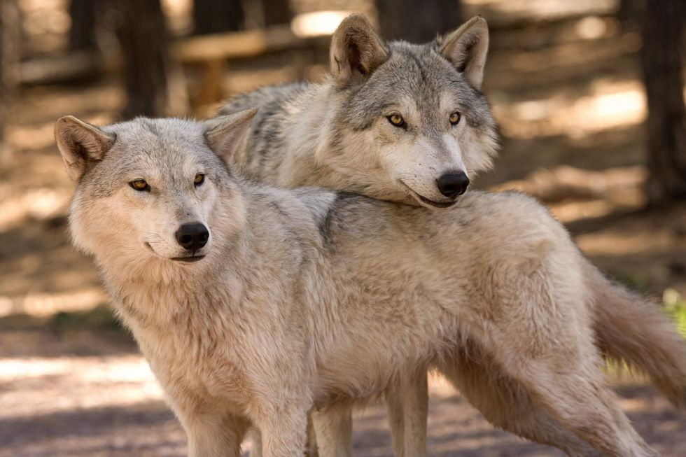 Alaskan Tundra Wolves Geronimo, the tallest wolf, and Kay, beneath him, huddle up. (Source:...
