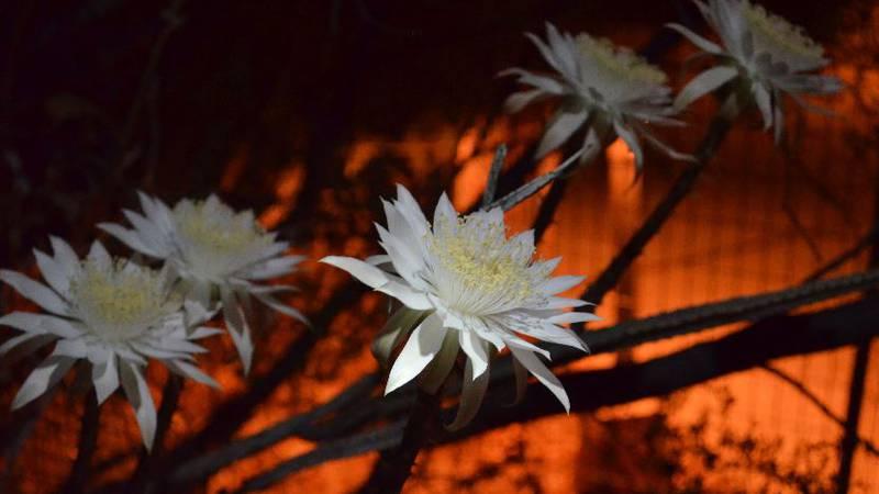 Night blooming cereus Peniocereus greggii (Source: Tohono Chul)