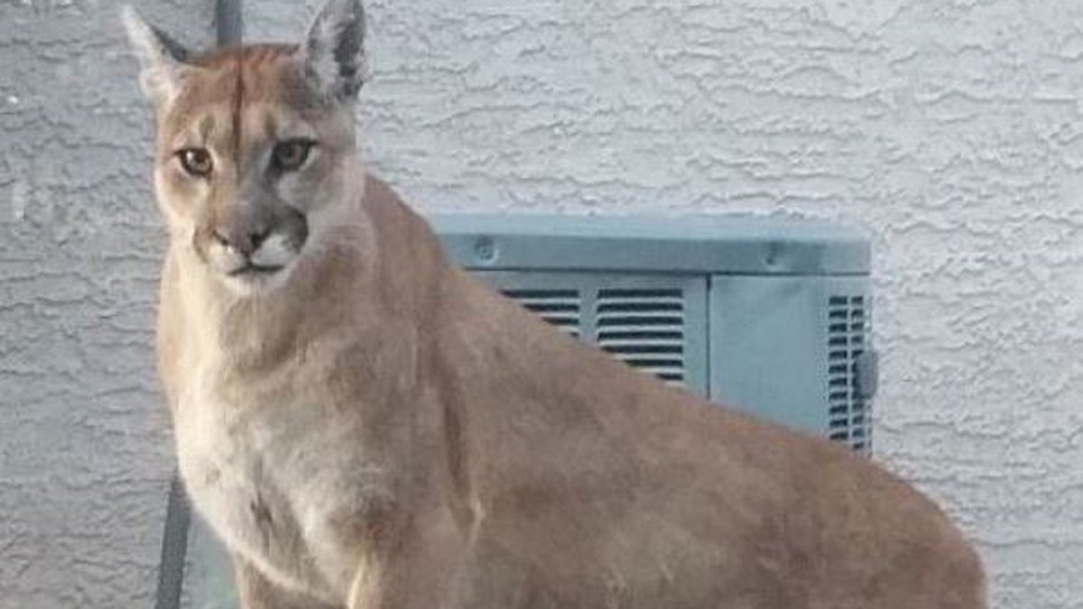 There have been three sightings of mountain lions in the Saddlebrooke area north of Tucson in...